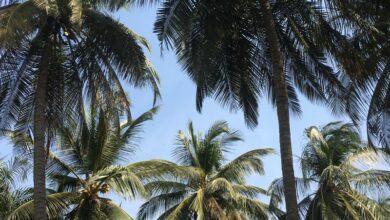 Un champ de palmier au Sénégal.